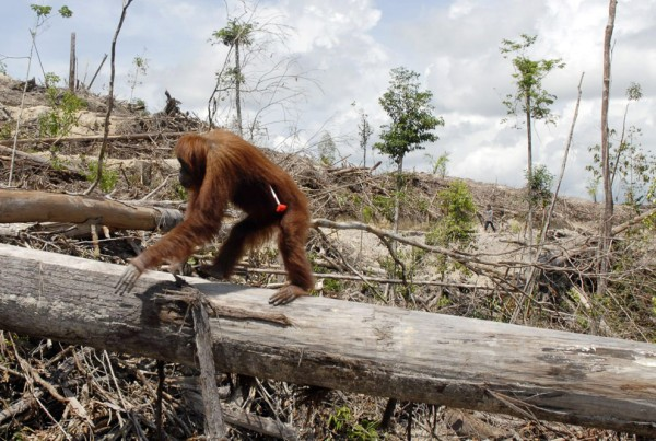 Orangutan with a tranquilizer dart in his side; will be relocated away from palm oil plantation site