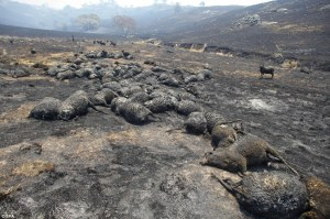 Wildfires are killing thousands of sheep in Australia
