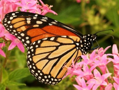 Milkweed-with-Monarch-Butterfly