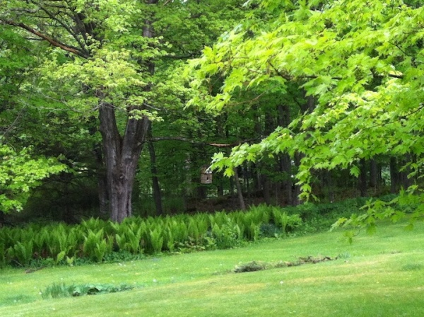This was my favorite climbing tree in childhood; a sugar maple named Cricket