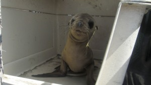 baby-sea-lion-2edit