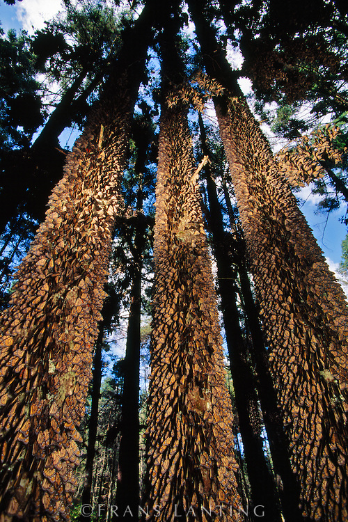 Monarch butterfly migration tree - photo#18