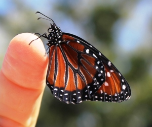 close-up-of-monarch-butterfly-on-finger