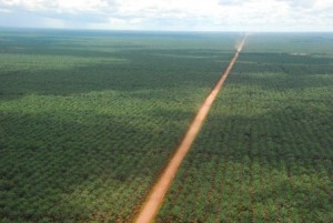 Indonesian palm oil plantation.  First the forest was bulldozed.  Never mind all the fragile species that called it home, including our primate cousins, the highly endangered orangutans.