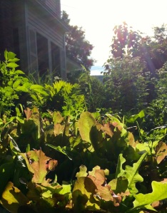morning lettuce