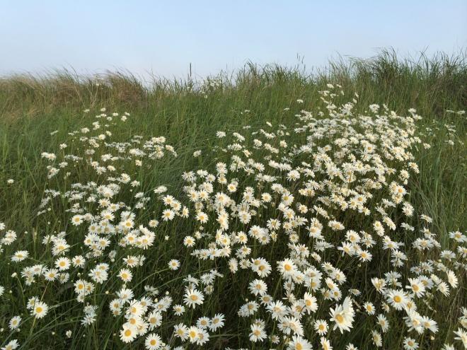 Wildflowers, Nova Scotia.  Photo c. Jennifer Browdy, 2014