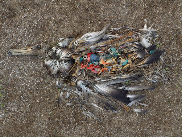 Tens of thousands of albatross are dying from eating plastic out of the Pacific Ocean