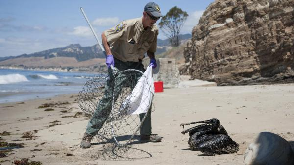 Photo c. Kenneth Song / The News-Press Mike Harris, of the California Department of Fish and Wildlife, prepares to rescue a pelican covered in oil on the beach about a mile west of Refugio State Beach, Calif., Wednesday, May 20, 2015.